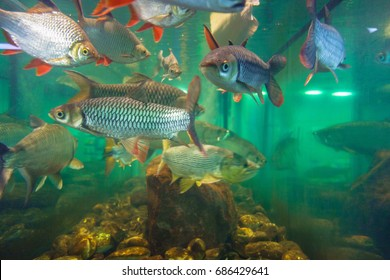 freshwater fishes aquarium