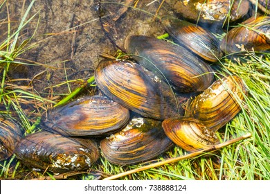 freshwater mussels, close-up