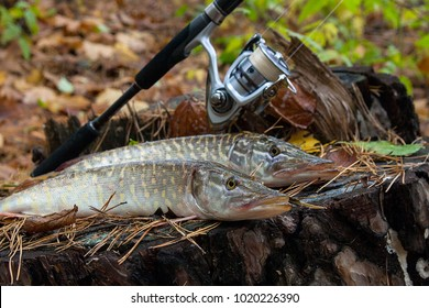Freshwater Northern pike fish know as Esox Lucius lying on a wooden hemp and fishing equipment. Fishing concept, good catch - big freshwater pike fish just taken from the water on old wooden hemp