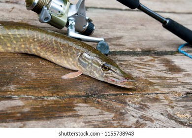Freshwater Northern pike fish know as Esox Lucius and fishing rod with reel lying on vintage wooden background. Fishing concept, good catch - big freshwater pike fish just taken from the water