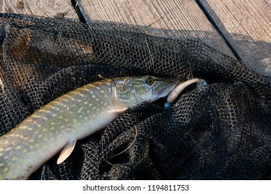 Freshwater Northern pike fish know as Esox Lucius lying on black fishing net. Fishing concept, good catch - big freshwater pike with jig bait in mouth fish just taken from the water