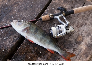 Freshwater perch and fishing rod with reel lying on vintage wooden background. Fishing concept, trophy catch - big freshwater perch fish just taken from the water and fishing equipment