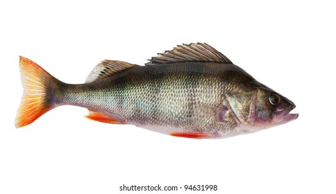 freshwater perch isolated on white background
