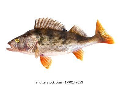 Freshwater perch, predatory fish, isolated on white background.