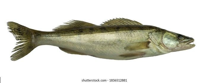 Freshwater predatory fish on a white background. Fresh pike perch on a white background for your project.