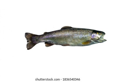 Freshwater predatory fish on a white background. Fresh rainbow trout on a white background for your project.