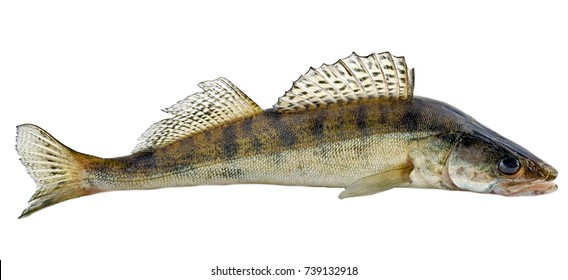 Freshwater raw fish zander isolated on white background
