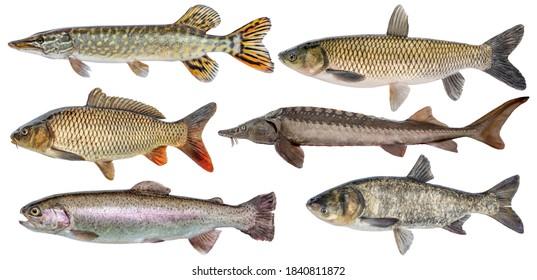 Freshwater river fish set isolated. Fresh live fish. Pike, sturgeon, carp, trout, grass carp, silver carp