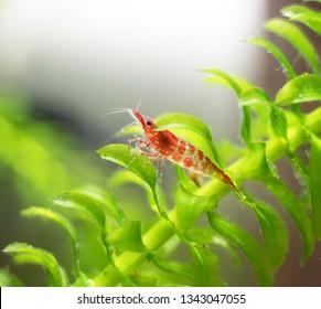 Freshwater shrimp in freshwater aquarium. Neocaridina davidi or Rili shrimp.