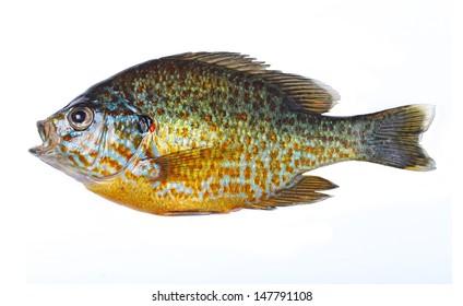 Freshwater Sunfish isolated on a white background.
