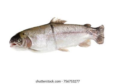 freshwater trout isolate on a white background closeup, salmon shot in a studio