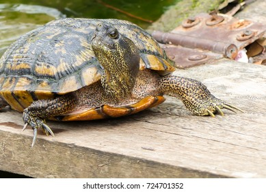 freshwater turtle at water's edge in Dallas, north Texas