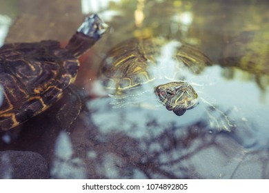 Freshwater turtles in a natural lake.