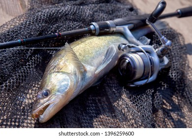 Freshwater zander fish know as sander lucioperca just taken from the water and fishing rod with reel on black fishing net. Fishing concept, good catch - big freshwater zander fish, fishing rod
