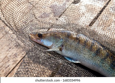Freshwater zander fish know as sander lucioperca just taken from the water on black fishing net. Fishing concept, good catch - big freshwater zander fish and landing net.