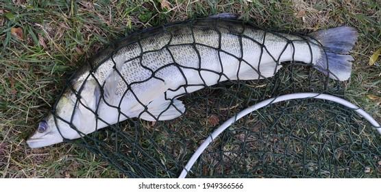 Freshwater zander fish - Sander lucioperca - in net