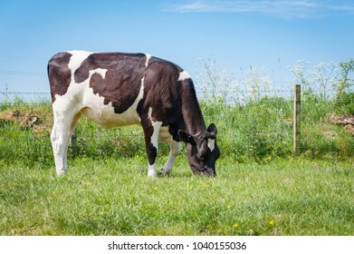 Fresian Heifer Grazing in meadow with Yellow Flowers