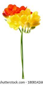 Fressia flowers