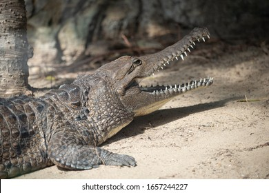 Freswater Crocodile close up  with mouth open