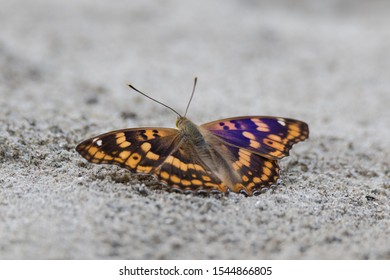 Freyer's purple emperor has dark wings with reddish and yellow bands. The wings of the male are bluish purple if seen from the right angle.