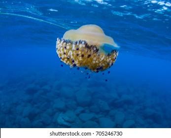 Fried egg jellyfish (Cotylorhiza tuberculata)