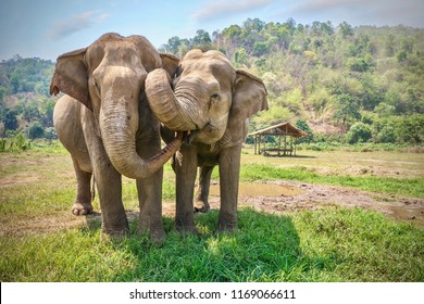 Friendly and affectionate animal behavior as two adult female Asian elephants (elephas maximus) touch each other with their trunks and faces. Rural northern Thailand.