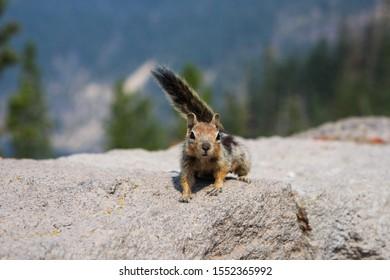 Friendly, alpine, eastern chipmunk on a rocky ledge