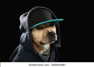 Friendly American Stafford terrier dog in cool blazer jacket and baseball cap like rapper isolated on black background