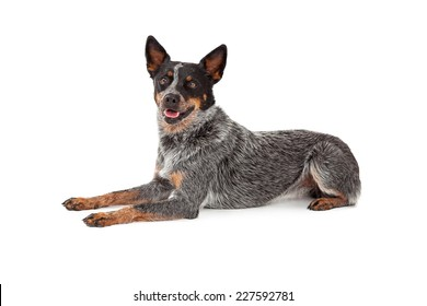 A friendly Australian Cattle Dog laying while looking forward.