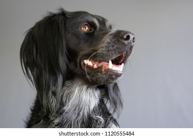 Friendly black and silver Spaniel with happy expression head shot