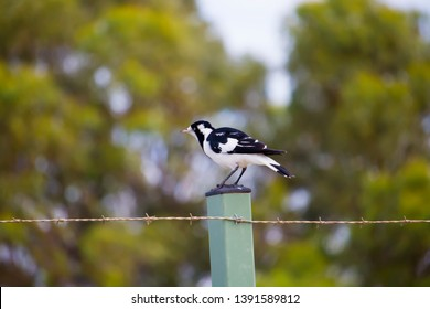 A  friendly  black and white Magpie-lark (Grallina cyanoleuca) an Australian bird with pee-o-wit' cry  called Pee Wee , Murray magpie or Mudlark is perched on a post on a late afternoon in mid-winter.