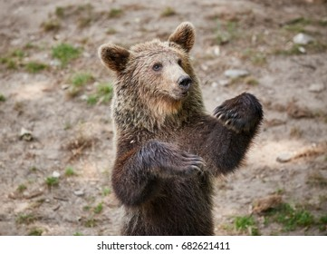 friendly Brown bear waves with paws