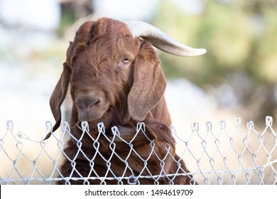 Friendly buck or male goat peeking from over a wire fence