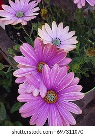 A Friendly Bunch of Pink African Daisies