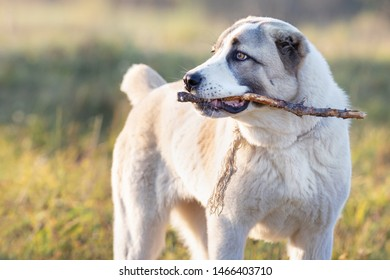 Friendly Central Asian Shepherd dog playing with stick