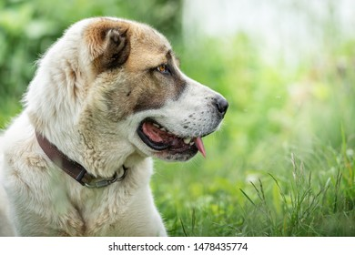 Friendly  Central Asian Shepherd dog profile portrait in the light green shining grass background