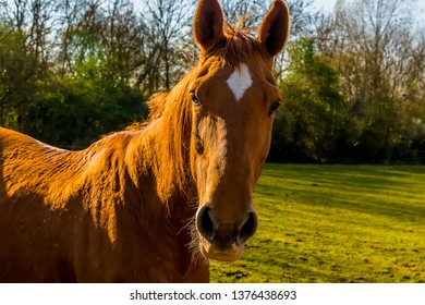 A friendly chestnut horse in a field near Hook Norton, Oxfordshire, UK
