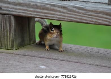 Friendly Chipmunk in Pennsylvania
