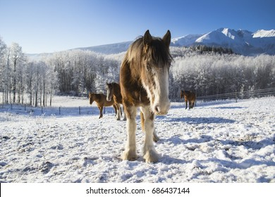 Friendly Clydesdale horse in the snow.