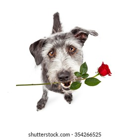 Friendly crossbreed dog sitting and looking up with a cute expression and a single red rose in his mouth