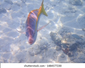 Friendly and curious Yellowtail snapper who was posing for the camera with copy space.