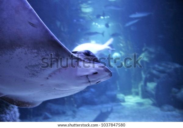 Friendly devilfish unterwater
