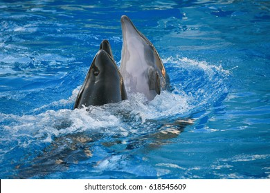 Friendly dolphins playing and swimming in pool