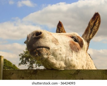 a friendly donkey looking over a fence