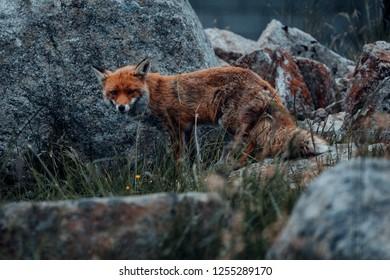Friendly Fox on the Brocken