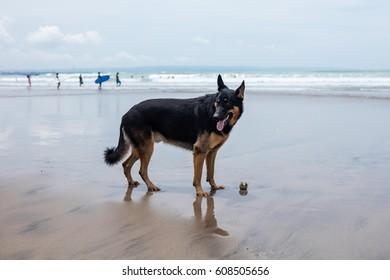 friendly German shepherd playing at the seaside