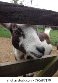 friendly goat greeting