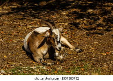 friendly goat resting on a barnyard pasture