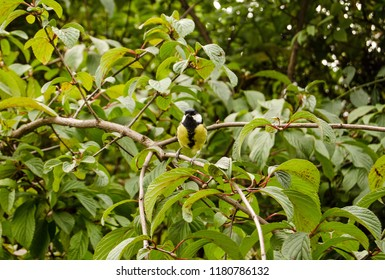A friendly Great Tit, latin name Parus major, posing for a photograph in a shrub.
