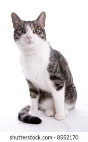 The friendly housecat, pet and companion - portrait of...